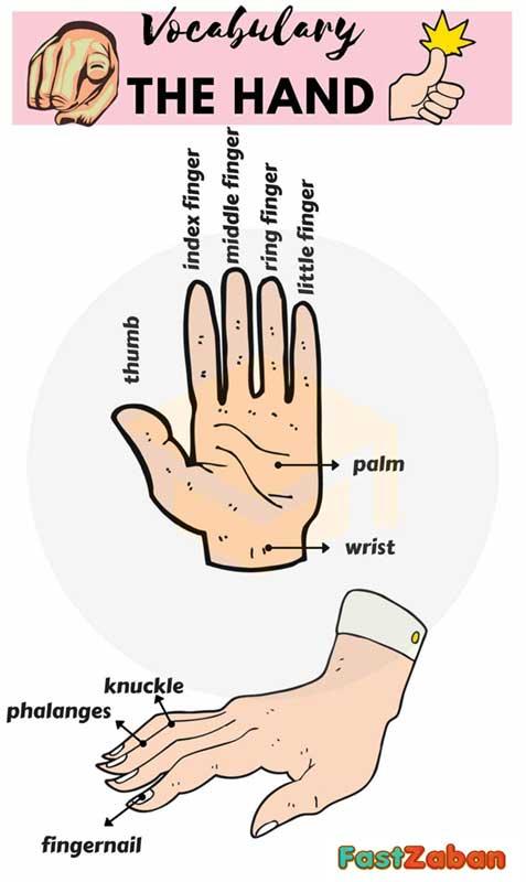 قسمت های مختلف دست